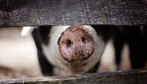 A pig's nose poking out from a fence.